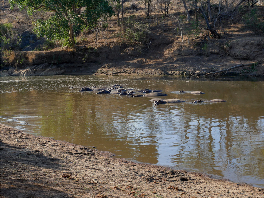 A safari in South Africa | Hippos at the watering hole | EyeWearThese
