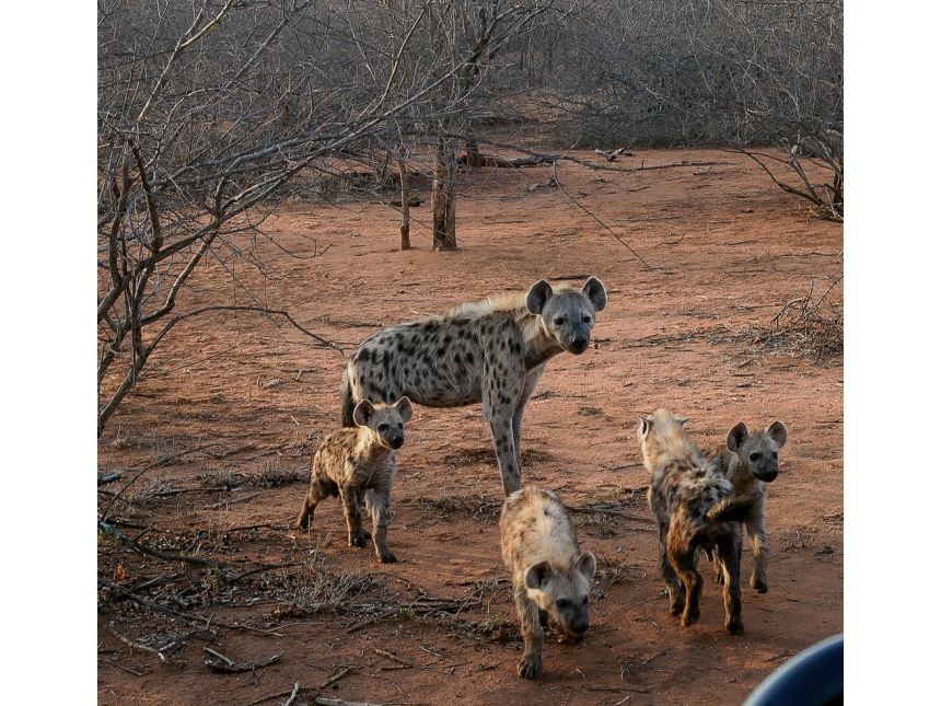 A safari in South Africa | Hyena in South Africa | EyeWearThese
