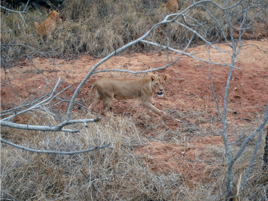 Lion Looking at us in A safari in South Africa | EyeWearThese
