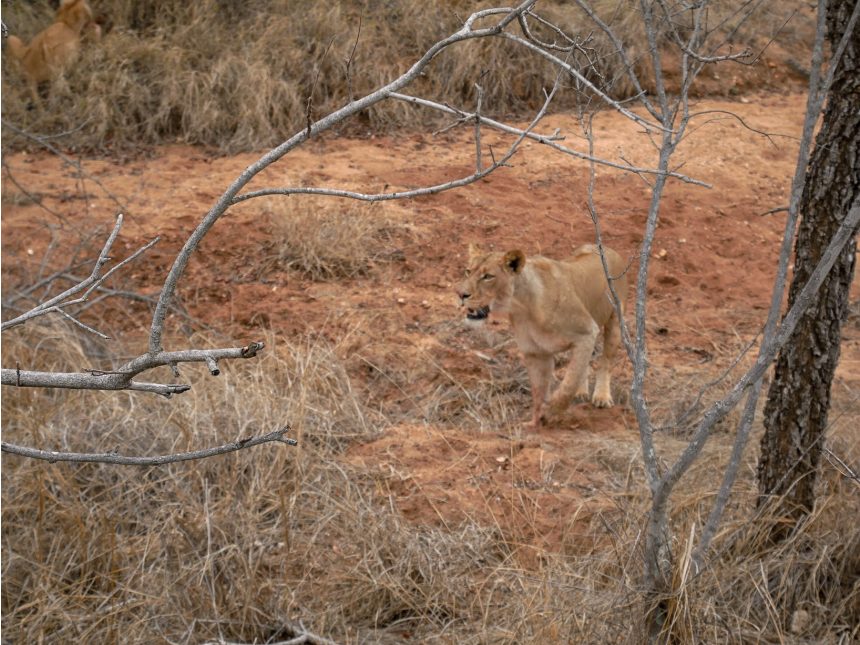 A safari in South Africa | Lion Walking In South Africa | EyeWearThese